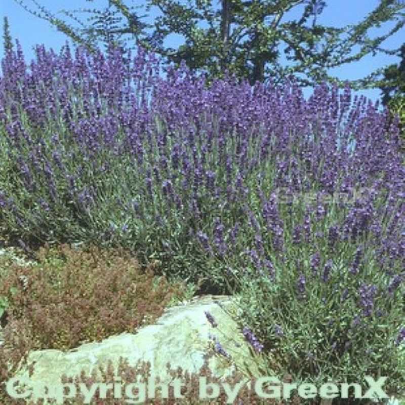 echter lavendel hidcote blue gro er topf lavandula. Black Bedroom Furniture Sets. Home Design Ideas
