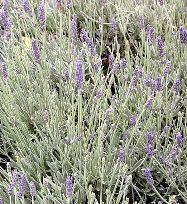 echter lavendel richard gray lavandula angustifolia. Black Bedroom Furniture Sets. Home Design Ideas
