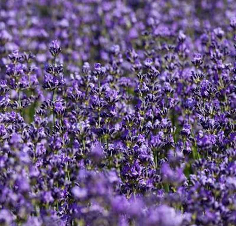 echter lavendel silver carpet lavandula angustifolia ebay. Black Bedroom Furniture Sets. Home Design Ideas