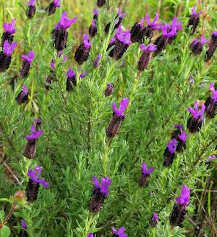 schopf lavendel papillon lavandula stoechas ebay. Black Bedroom Furniture Sets. Home Design Ideas
