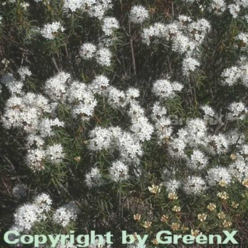 Dichter Labrador Porst 20-30cm Ledum groenlandicum