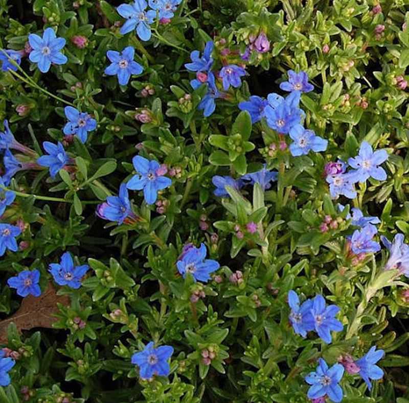 Steinsamen Heavenly Blue Lithodora diffusa