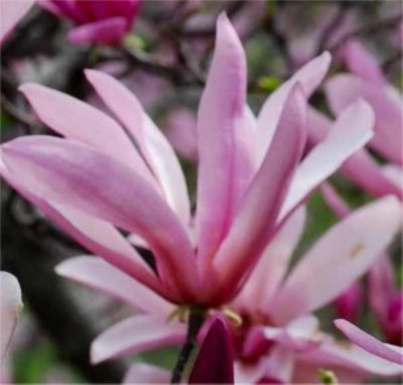 kleine sternmagnolie georg henry kern magnolia stellata georg henry kern. Black Bedroom Furniture Sets. Home Design Ideas