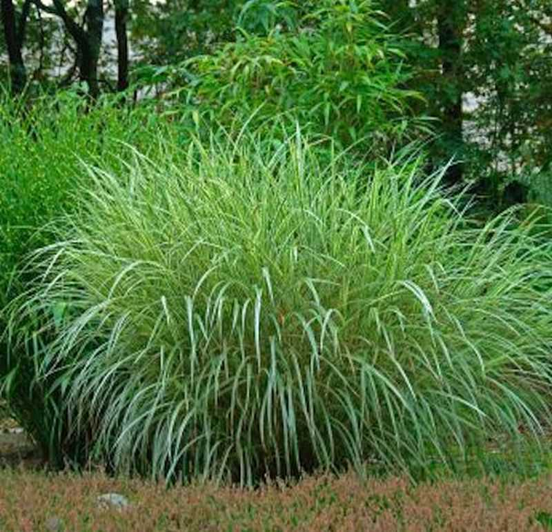 chinaschilf goliath miscanthus sinensis goliath. Black Bedroom Furniture Sets. Home Design Ideas