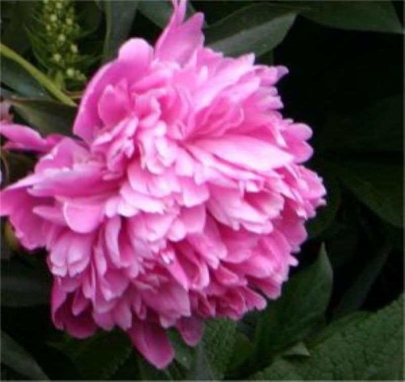 edelpfingstrose sarah bernhardt paeonia lactiflora hybrid sarah bernhardt. Black Bedroom Furniture Sets. Home Design Ideas