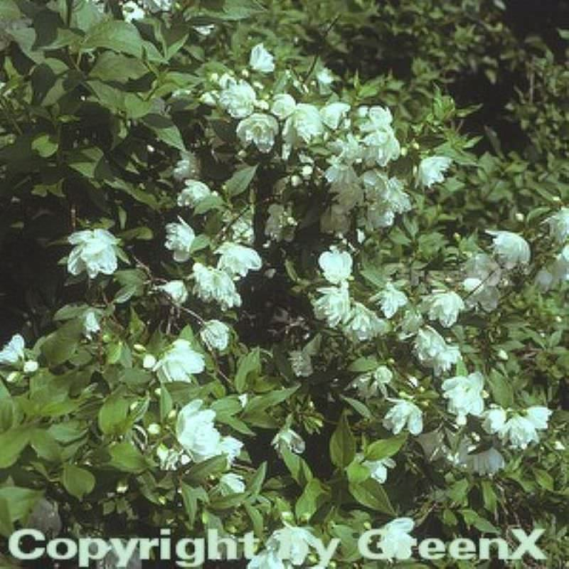 Gartenjasmin manteau d hermine philadelphus manteau d hermine - Philadelphus manteau d hermine ...