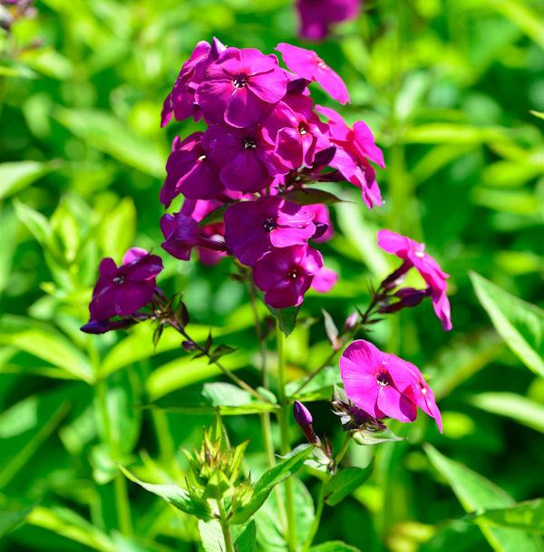 Hohe Flammenblume Septemberglut Phlox Paniculata