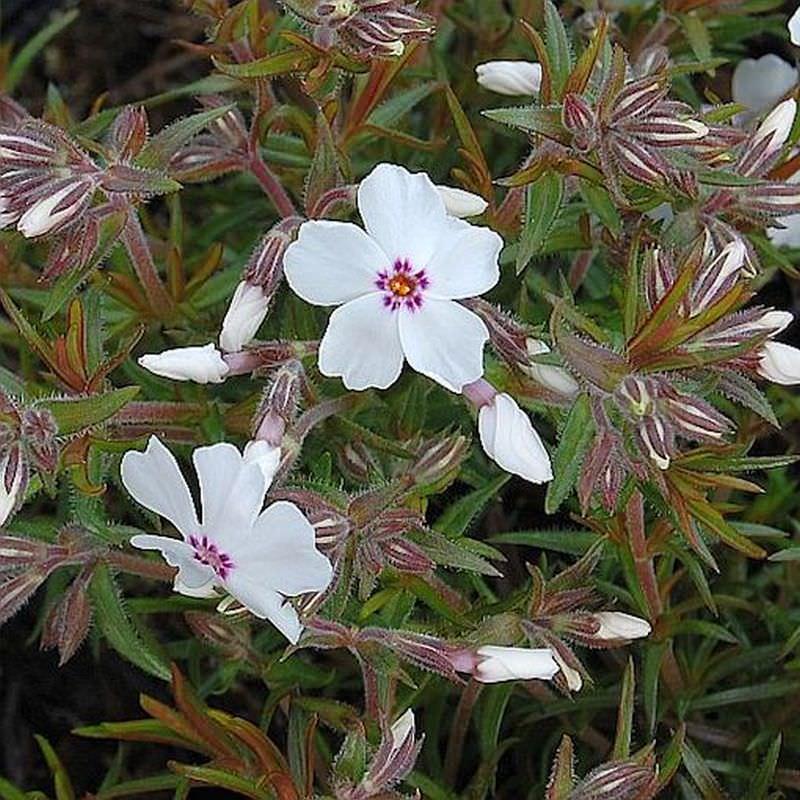 Phlox subulata Niedrige Flammenblume Amazing Grace
