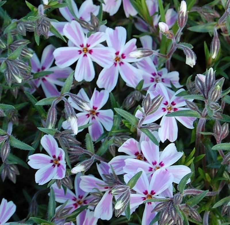 teppich phlox candy stripes phlox subulata ebay. Black Bedroom Furniture Sets. Home Design Ideas