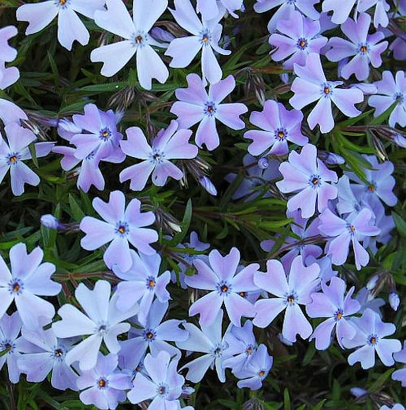 teppich phlox emerald cushion blue phlox subulata ebay. Black Bedroom Furniture Sets. Home Design Ideas