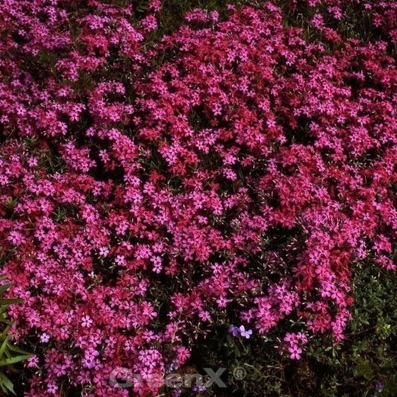 Teppich Phlox Temiskaming Phlox subulata Temiskaming
