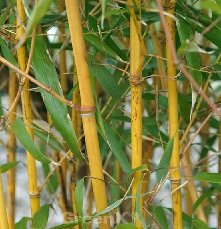 goldener peking bambus phyllostachys aureocaulis. Black Bedroom Furniture Sets. Home Design Ideas