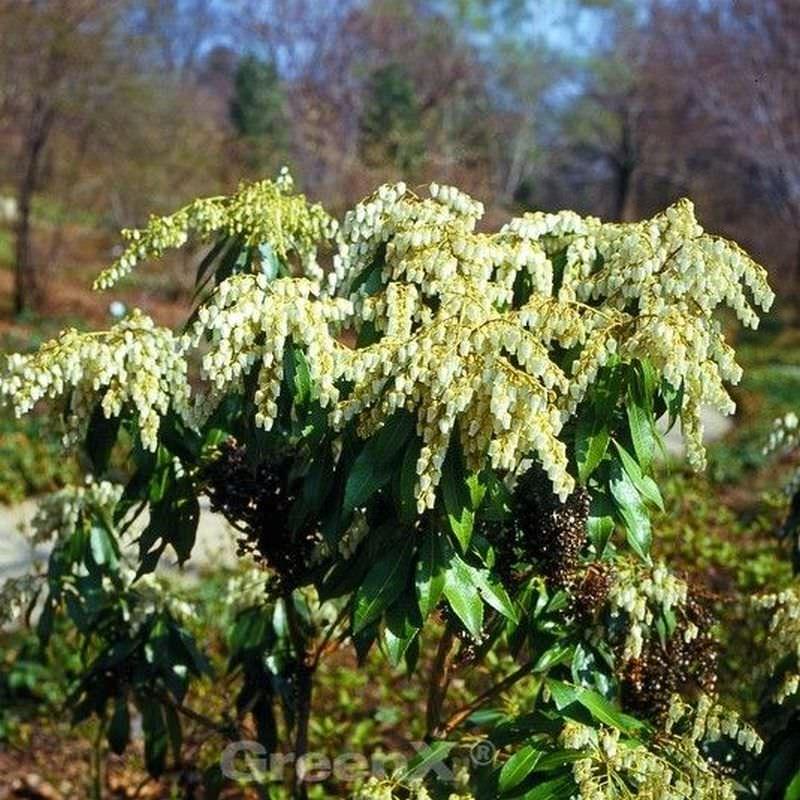 zwerg schattengl ckchen pieris japonica yakushimanum. Black Bedroom Furniture Sets. Home Design Ideas