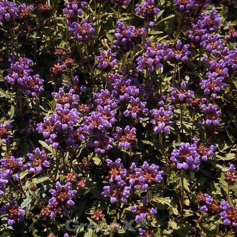 Großblütige Braunelle Bella Rose Prunella Grandiflora