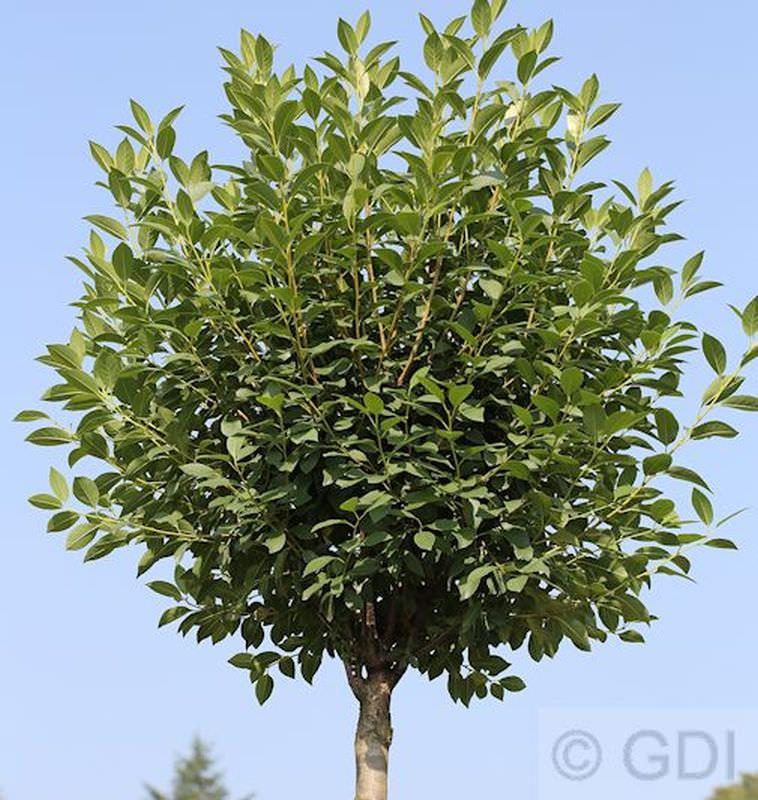 hochstamm steppenkirsche globosa prunus fruticosa globosa. Black Bedroom Furniture Sets. Home Design Ideas