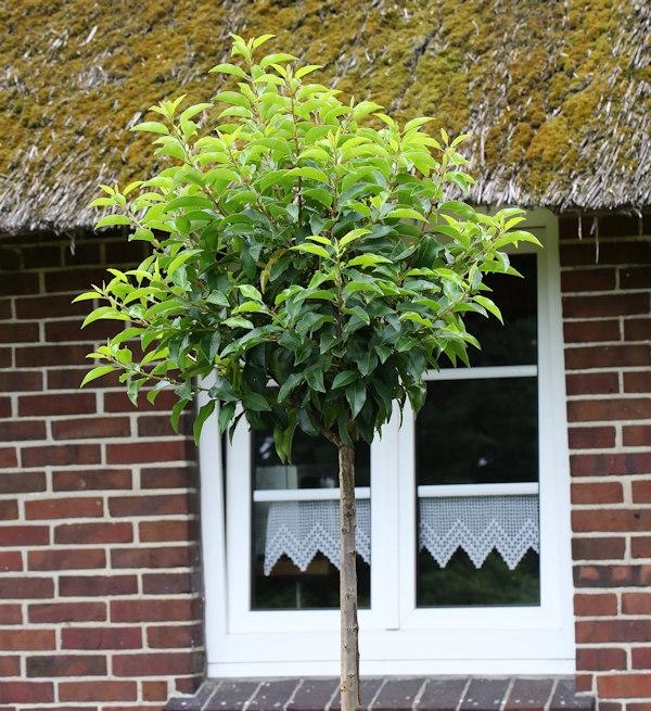 portugiesische lorbeerkirsche angustifolia prunus. Black Bedroom Furniture Sets. Home Design Ideas