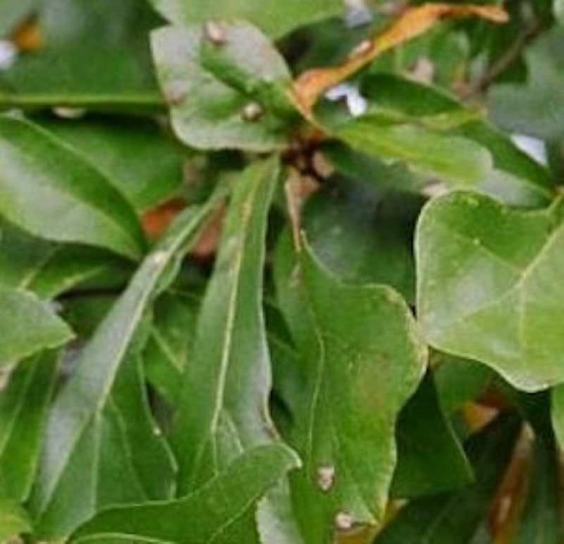 Wasser Eiche 100-125cm - Quercus nigraQuercus Nigra