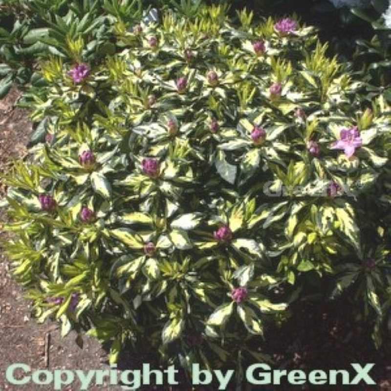 inkarho gro blumige rhododendron blattgold 30 40cm alpenrose ebay. Black Bedroom Furniture Sets. Home Design Ideas