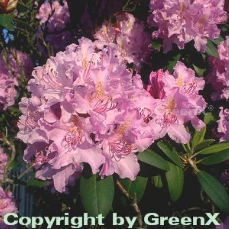 gro blumige rhododendron roseum elegans 30 40cm alpenrose kaufen bei. Black Bedroom Furniture Sets. Home Design Ideas