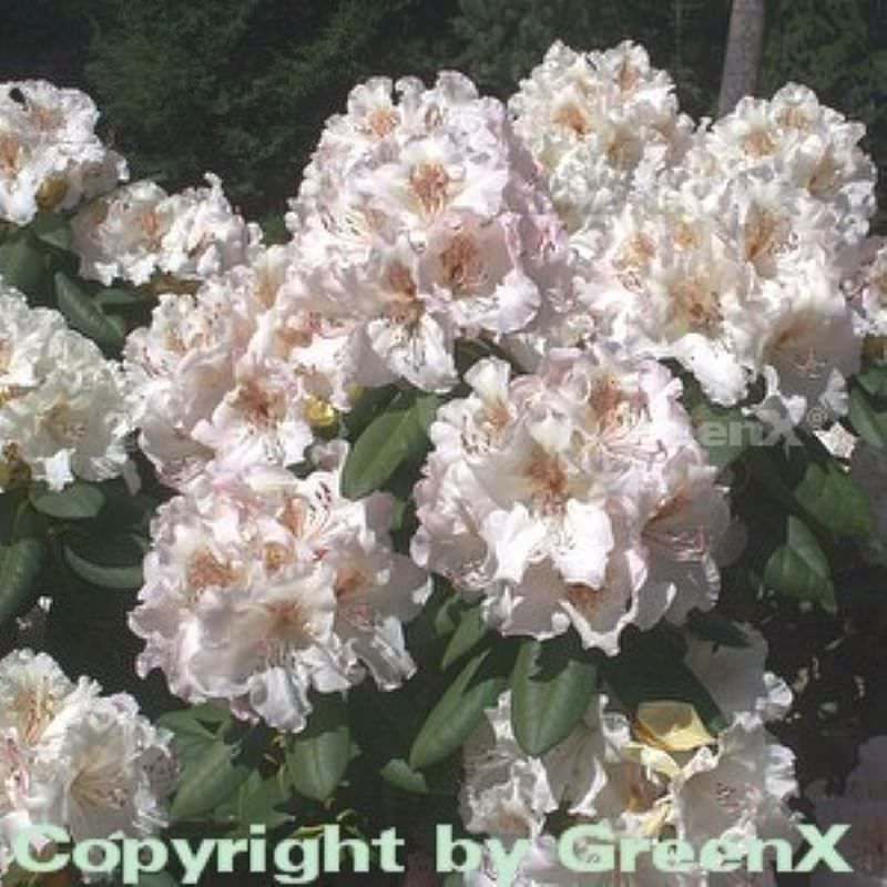 gro blumige rhododendron simona 40 50cm alpenrose kaufen bei. Black Bedroom Furniture Sets. Home Design Ideas