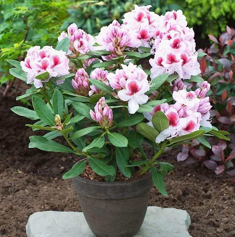 gro blumige rhododendron belami rhododendron hybride belami. Black Bedroom Furniture Sets. Home Design Ideas