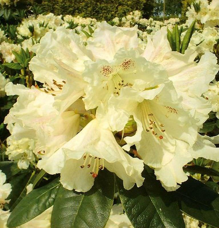 gro blumige rhododendron bellini 40 50cm alpenrose. Black Bedroom Furniture Sets. Home Design Ideas