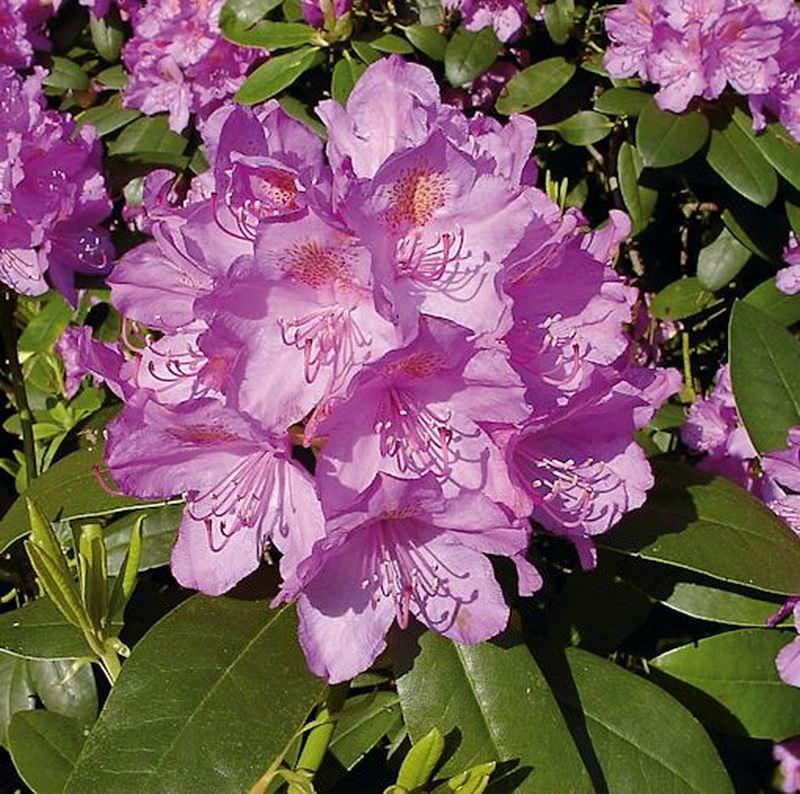 gro blumige rhododendron catawbiense grandiflorum 25 30cm. Black Bedroom Furniture Sets. Home Design Ideas
