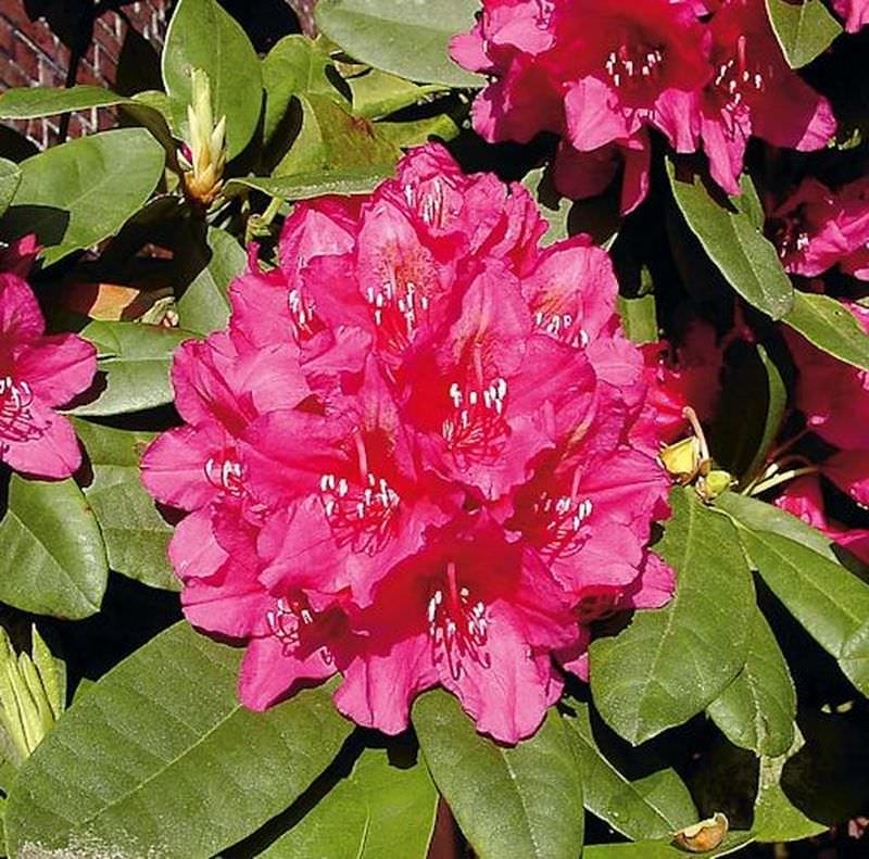 inkarho gro blumige rhododendron dr h c dresselhuys 40 50cm alpenrose kaufen bei. Black Bedroom Furniture Sets. Home Design Ideas