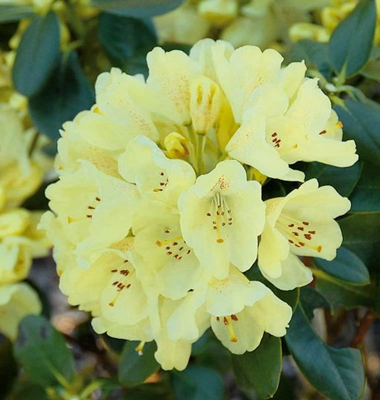 gro blumige rhododendron goldflimmer rhododendron hybride. Black Bedroom Furniture Sets. Home Design Ideas