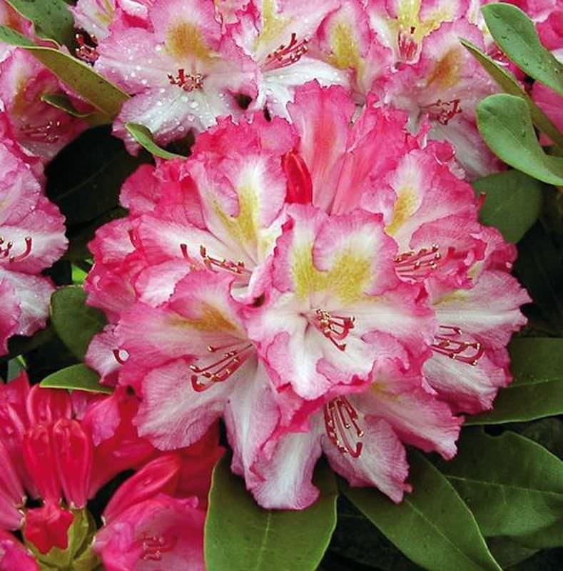 gro blumige rhododendron guyens fasching 30 40cm alpenrose kaufen bei. Black Bedroom Furniture Sets. Home Design Ideas