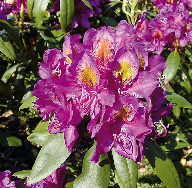 inkarho gro blumige rhododendron marcel menard 30 40cm alpenrose kaufen bei. Black Bedroom Furniture Sets. Home Design Ideas