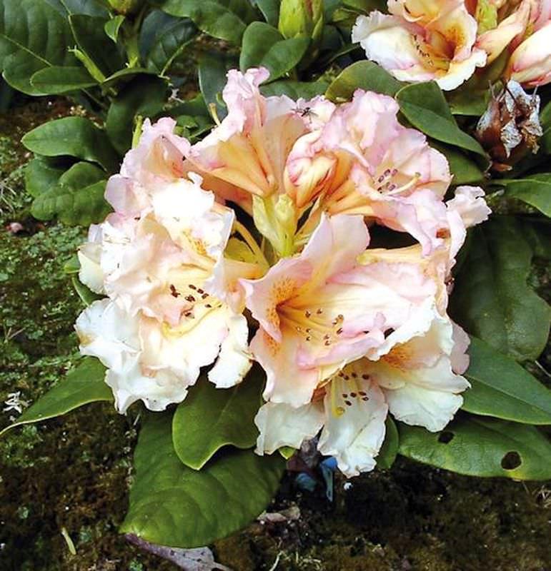 gro blumige rhododendron norfolk candy 40 50cm alpenrose kaufen bei. Black Bedroom Furniture Sets. Home Design Ideas