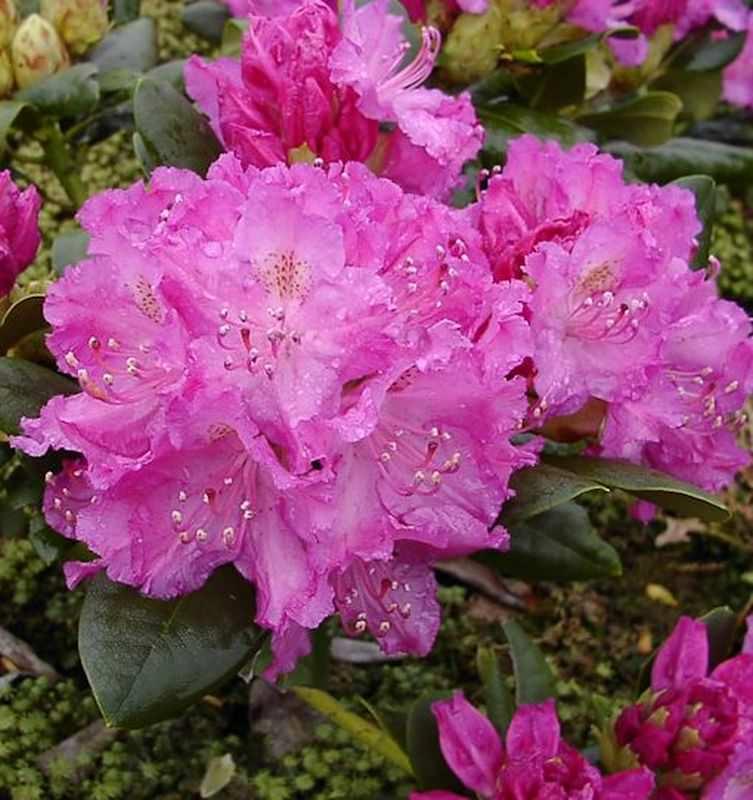 gro blumige rhododendron omega 30 40cm alpenrose kaufen bei. Black Bedroom Furniture Sets. Home Design Ideas