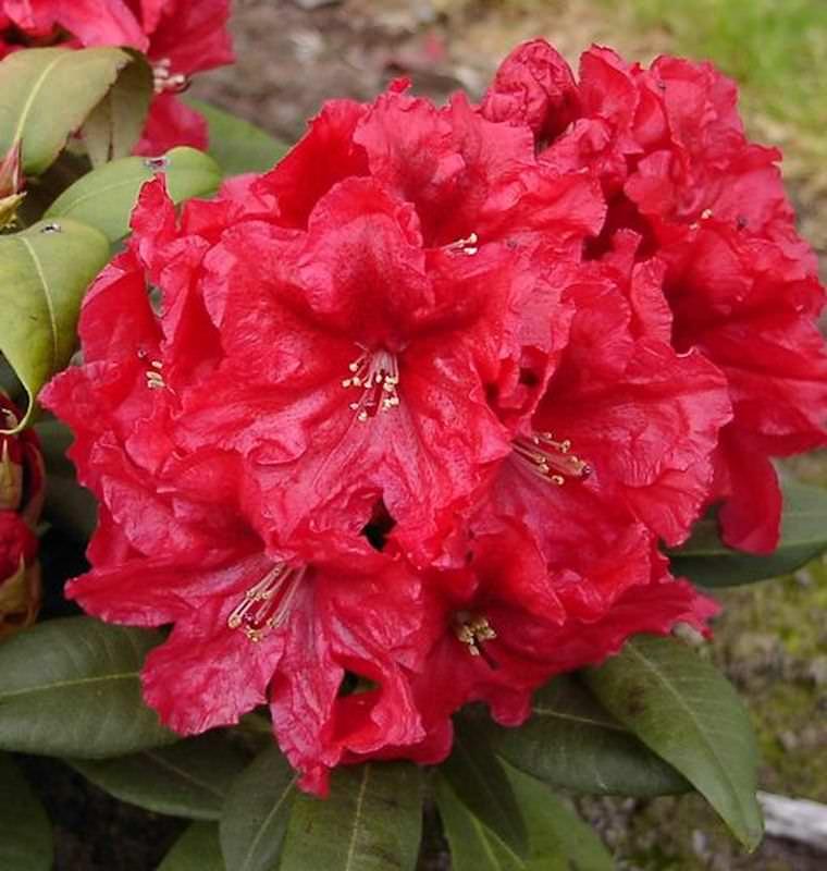 gro blumige rhododendron rabatz 30 40cm alpenrose kaufen bei. Black Bedroom Furniture Sets. Home Design Ideas
