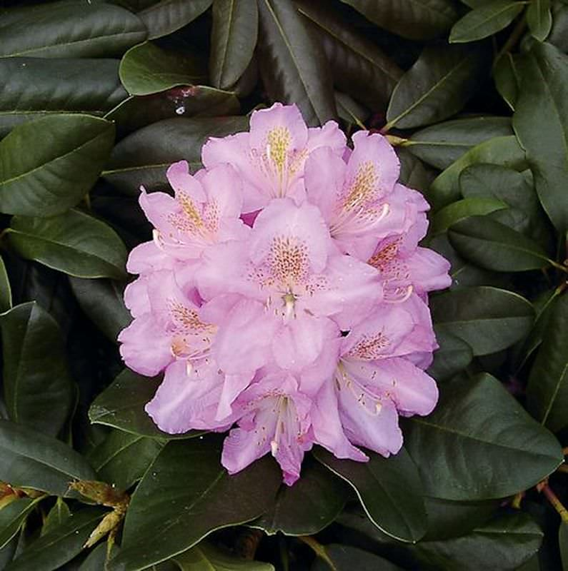 gro blumige rhododendron scintillation 70 80cm alpenrose kaufen bei. Black Bedroom Furniture Sets. Home Design Ideas