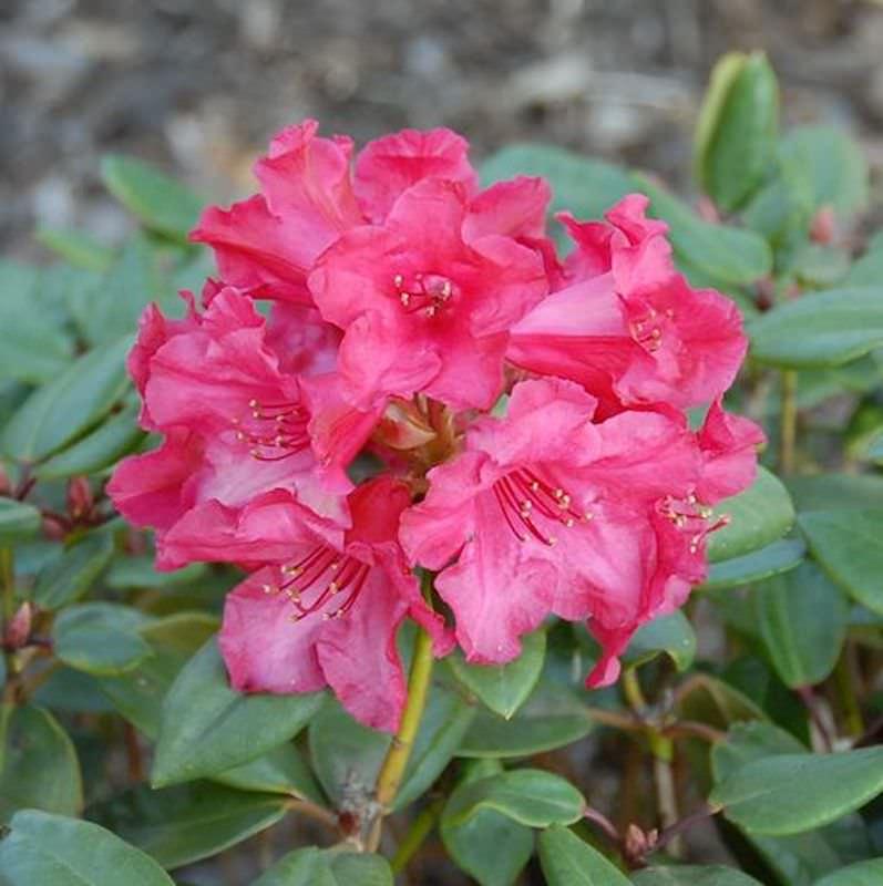 gro blumige rhododendron tromba 40 50cm alpenrose kaufen bei. Black Bedroom Furniture Sets. Home Design Ideas