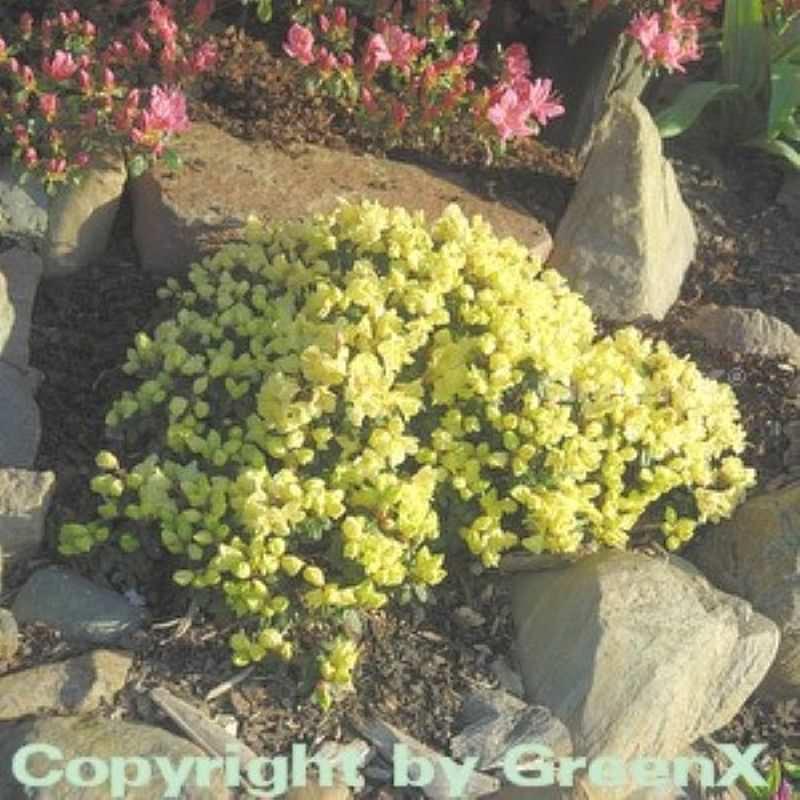 zwerg rhododendron wren rhododendron ludlowii wren. Black Bedroom Furniture Sets. Home Design Ideas