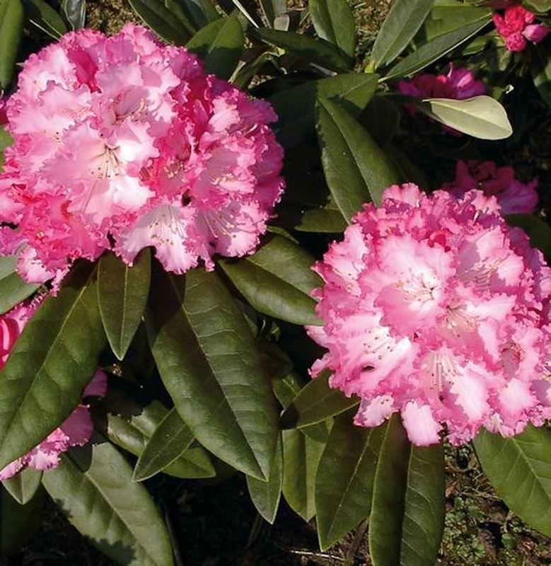Alpenrose Rhododendron Arabella 30-40cm