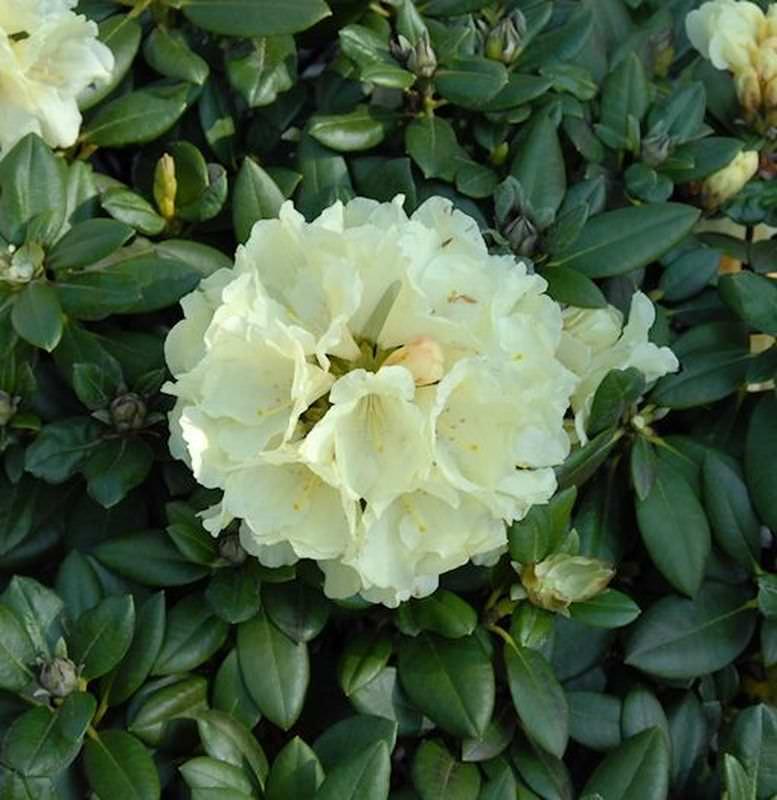rhododendron centennial gold 30 40cm alpenrose kaufen bei. Black Bedroom Furniture Sets. Home Design Ideas