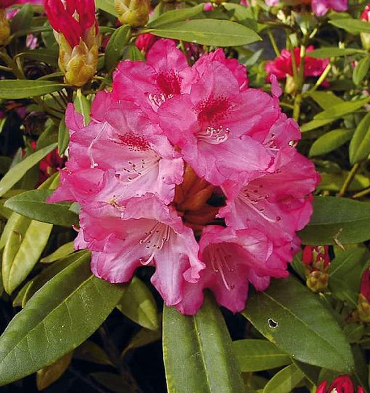 rhododendron sneezy 25 30cm alpenrose kaufen bei. Black Bedroom Furniture Sets. Home Design Ideas