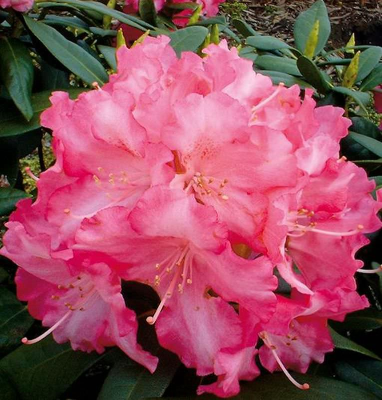 rhododendron sonatine 40 50cm alpenrose kaufen bei. Black Bedroom Furniture Sets. Home Design Ideas