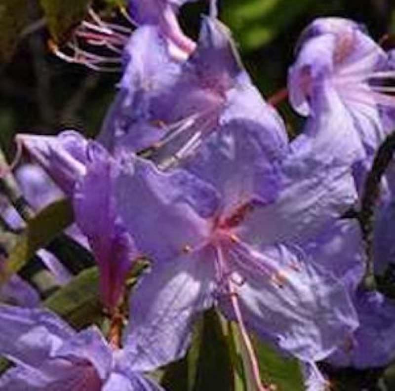 wild rhododendron aquamarin 25 30cm rhododendron augustinii kaufen bei. Black Bedroom Furniture Sets. Home Design Ideas