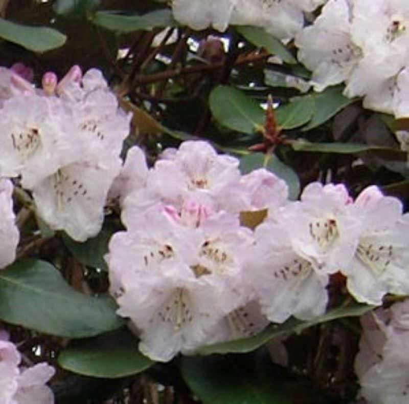indische rhododendron frisia 30 40cm rhododendron campanulatum kaufen bei. Black Bedroom Furniture Sets. Home Design Ideas