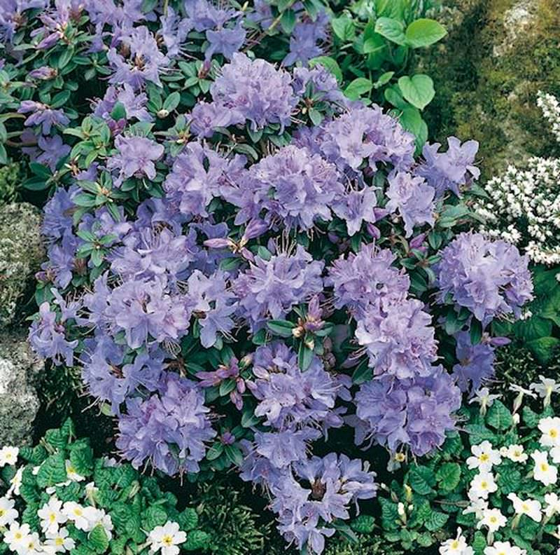 Rhododendron impeditum Zwerg Alpenrose Zwerg Rhododendron Azurika 20-25cm