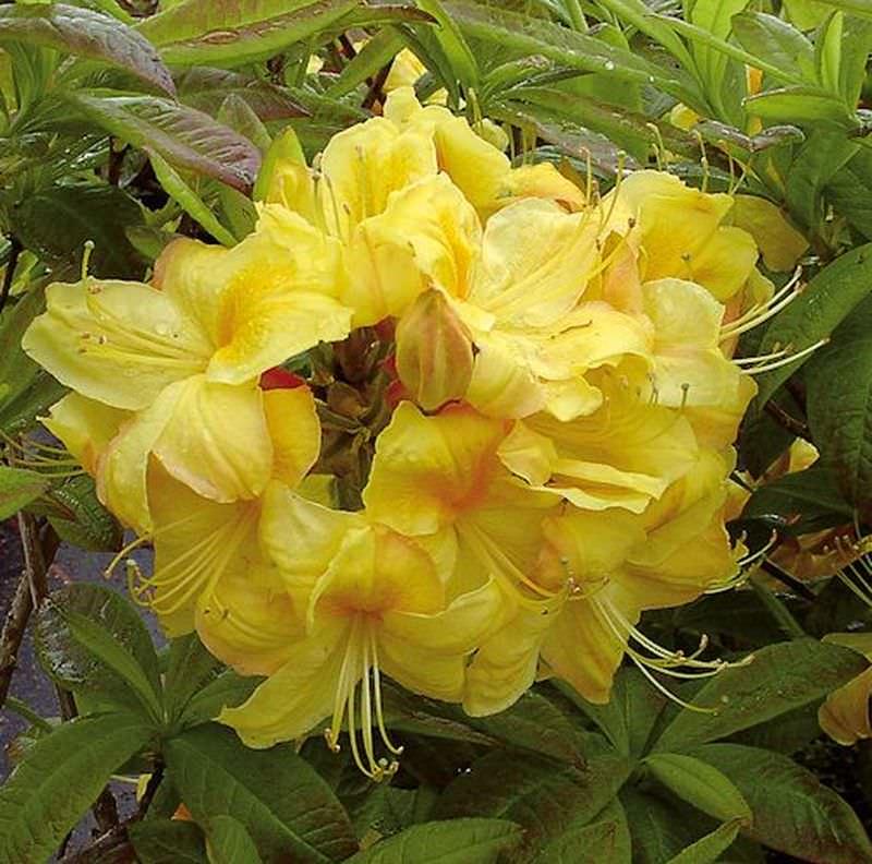 azalee golden sunset 40 50cm rhododendron luteum alpenrose kaufen bei. Black Bedroom Furniture Sets. Home Design Ideas
