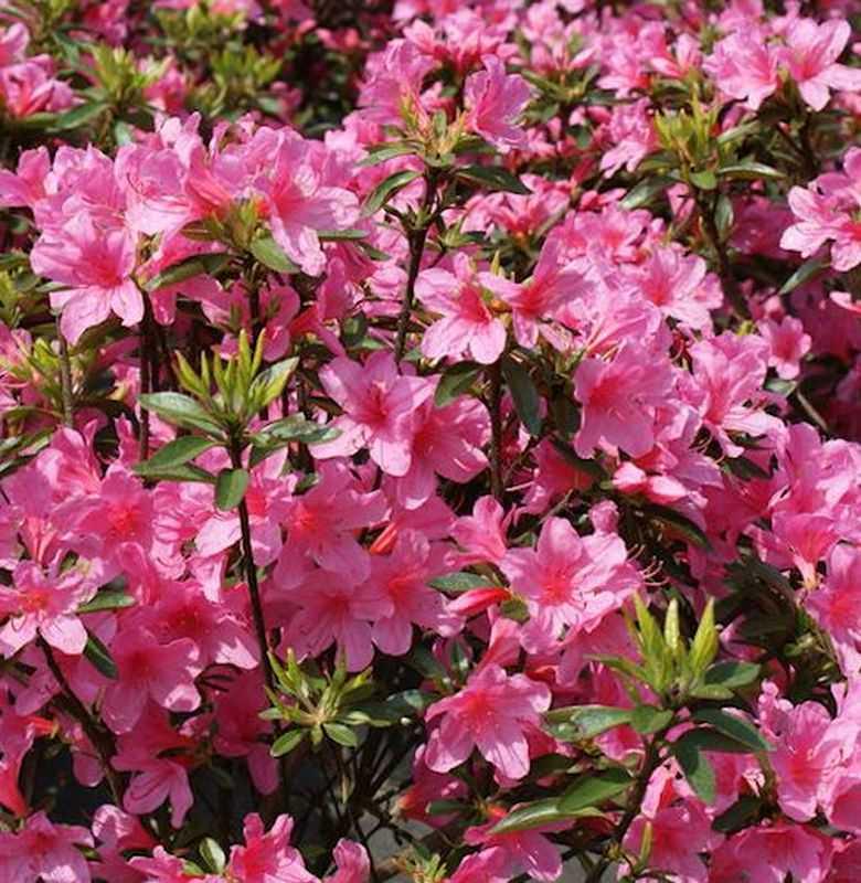 japanische azalee madame albert v hecke 40 50cm rhododendron obtusum zwerg kaufen bei. Black Bedroom Furniture Sets. Home Design Ideas