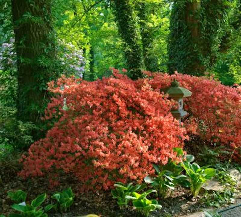 japanische azalee satschiko 20 25cm rhododendron obtusum satschiko ebay. Black Bedroom Furniture Sets. Home Design Ideas