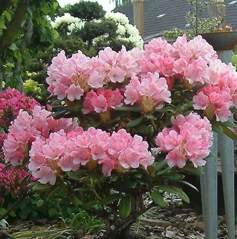 rhododendron loreley 20 25cm rhododendron yakushimanum ebay. Black Bedroom Furniture Sets. Home Design Ideas