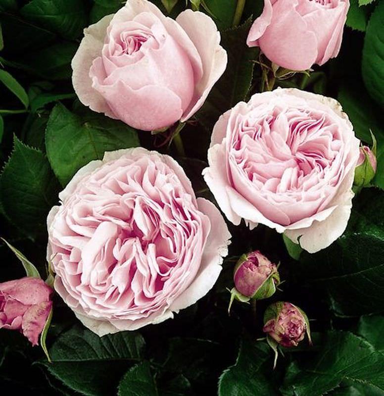 nostalgierose gartentr ume rosa hybrid gartentr ume. Black Bedroom Furniture Sets. Home Design Ideas