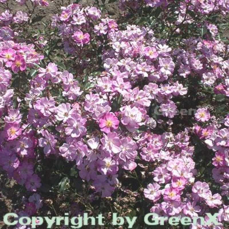 bodendeckerrose lavender dream rosa hybrid lavender dream. Black Bedroom Furniture Sets. Home Design Ideas